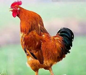 日本动物园大公鸡成明星 游客争相与之合影